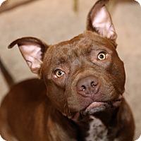 Adopt A Pet :: Buddy Herman-Courtesy Post - Alpharetta, GA