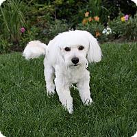 Adopt A Pet :: ZIGGY - Newport Beach, CA