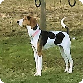Treeing Walker Coonhound Mix Dog for adoption in Cleveland, Ohio - Eleanor