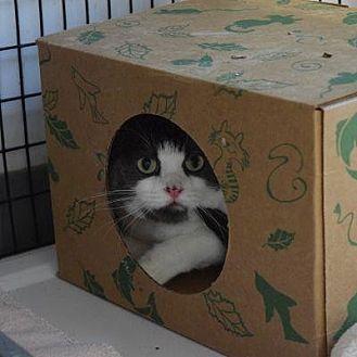 Domestic Shorthair Cat for adoption in Denver, Colorado - Chrissy