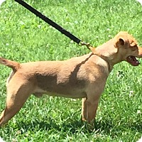 Chihuahua/American Staffordshire Terrier Mix Dog for adoption in Lancaster, Kentucky - Tanner