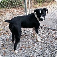 Boxer/Border Collie Mix Dog for adoption in Irwin, Pennsylvania - Amos