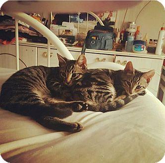 American Shorthair Kitten for adoption in New York, New York - Zsa-Zsa