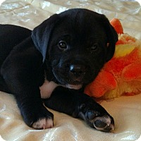 Adopt A Pet :: Theo - Huntsville, AL