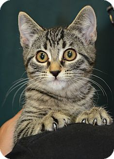Domestic Shorthair Kitten for adoption in Ogden, Utah - Goblin