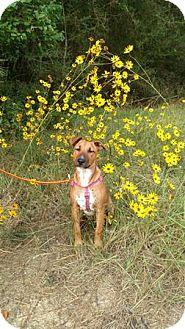 Bull Terrier/Standard Schnauzer Mix Dog for adoption in Houston, Texas - Calvin