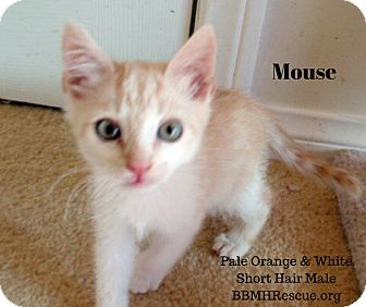 Domestic Shorthair Kitten for adoption in Temecula, California - Mouse