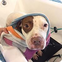 Adopt A Pet :: Blossom - San Diego, CA