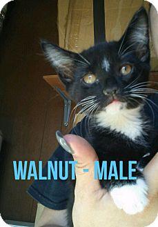 Domestic Mediumhair Kitten for adoption in Glendale, Arizona - WALNUT