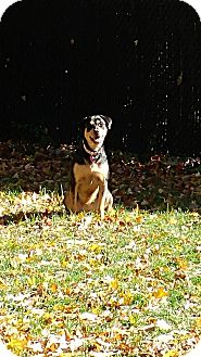 Rottweiler/Shepherd (Unknown Type) Mix Dog for adoption in Montreal, Quebec - Riley (pending adoption)