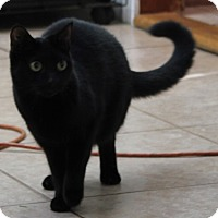 Domestic Shorthair Cat for adoption in Wakefield, Massachusetts - Cocoa Krispies