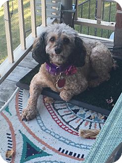 Havanese/Poodle (Miniature) Mix Dog for adoption in Mount Gretna, Pennsylvania - Maisey