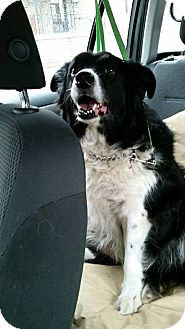 Border Collie Dog for adoption in Cambridge, Ontario - Annie