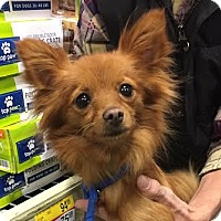 Chihuahua/Pomeranian Mix Dog for adoption in Brownsboro, Alabama - Aubie