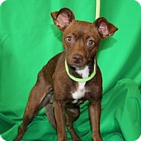 Adopt A Pet :: Scarlet - Chester Springs, PA