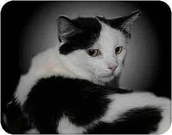Domestic Shorthair Cat for adoption in Montgomery, Illinois - Taryn