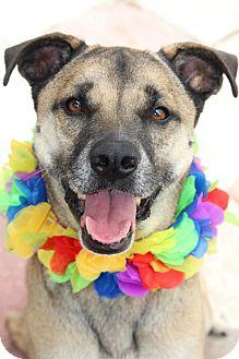 German Shepherd Dog Mix Dog for adoption in Tampa, Florida - Rufus
