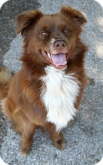 Nova Scotia Duck-Tolling Retriever Mix Dog for adoption in Muskegon, Michigan - Mack