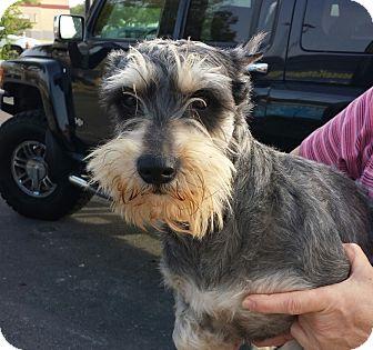 Schnauzer (Miniature) Dog for adoption in St. Petersburg, Florida - Jake