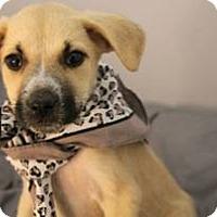 Adopt A Pet :: Nala - South Jersey, NJ