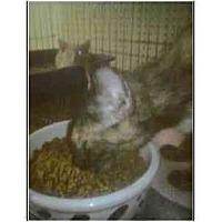 Adopt A Pet :: Serena - Owasso, OK