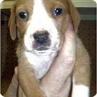 Adopt A Pet :: Derrick - Novi, MI