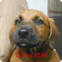 Adopt A Pet :: Onion - baltimore, MD