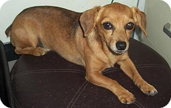 Dachshund/Beagle Mix Dog for adoption in Mtn Grove, Missouri - Buster Boy