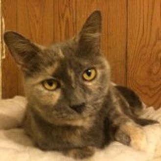 Domestic Shorthair Cat for adoption in Delmont, Pennsylvania - Dinah