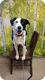 Border Collie/Border Collie Mix Dog for adoption in ROBINSON, Illinois - Jack