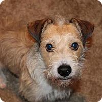 Adopt A Pet :: Ekko - San Antonio, TX