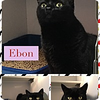 Domestic Shorthair Cat for adoption in Goshen, New York - Ebon