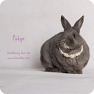 Dwarf Mix for adoption in Jurupa Valley, California - Pudgy