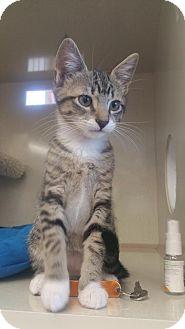 Domestic Shorthair Kitten for adoption in Walnut Creek, California - Sox