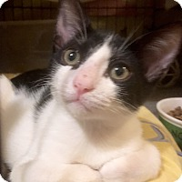 Adopt A Pet :: Cisco - Black & White Kitten - Metairie, LA