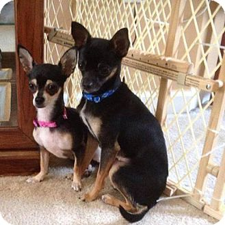 Chihuahua Mix Dog for adoption in Olive Branch, Mississippi - Fizz & Martini (Tini)