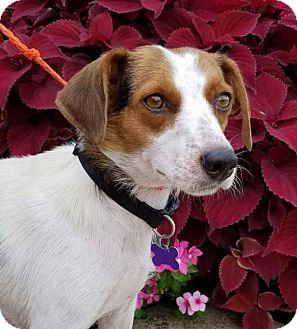 Beagle Mix Dog for adoption in St Louis, Missouri - Savannah