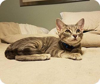 Domestic Shorthair Cat for adoption in Roanoke, Texas - Blu