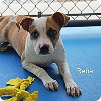 Adopt A Pet :: Reba - Waterbury, CT