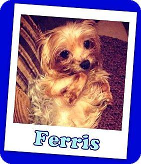 Yorkie, Yorkshire Terrier Dog for adoption in Pataskala, Ohio - Ferris Franklin