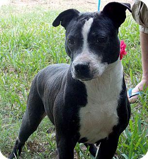 American Staffordshire Terrier Mix Dog for adoption in San Jose, California - Tulip