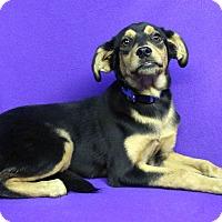 Adopt A Pet :: STARLA - Westminster, CO