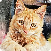 Domestic Mediumhair Cat for adoption in Pittsburg, California - **Uncle Jesse -- Cats of Hazzard
