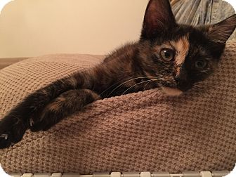 Domestic Shorthair Kitten for adoption in Cincinnati, Ohio - Mattie