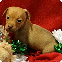 Dachshund/Chihuahua Mix Puppy for adoption in Vacaville, California - Rudolph