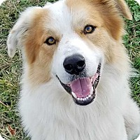 Great Pyrenees/Border Collie Mix Dog for adoption in Beacon, New York - Sampson T. / Needs Foster - new!