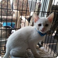Domestic Shorthair Kitten for adoption in Palm Beach, Florida - Powder