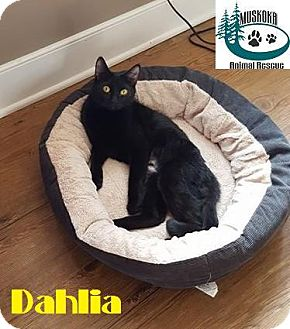 Domestic Shorthair Cat for adoption in Huntsville, Ontario - Dahlia - Adopted January 2017