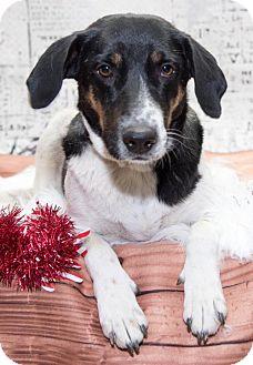 Australian Cattle Dog Mix Dog for adoption in Aurora, Colorado - 957- Bea