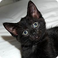 Domestic Mediumhair Kitten for adoption in Fairfax, Virginia - Hershey